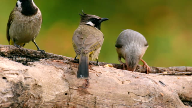 Himalayan bulbul (Pycnonotus leucogenys) and blyth's starling feeding from a tree branch