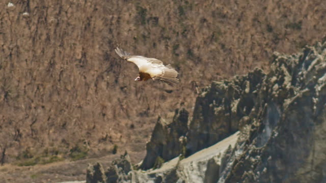 Himalayan griffon vulture soar over rocky mountain, huge bird track down a prey Awesome Himalayan griffon vulture soar above rocky mountain, huge bird tracks down a prey, Nepal bird of prey stock videos & royalty-free footage