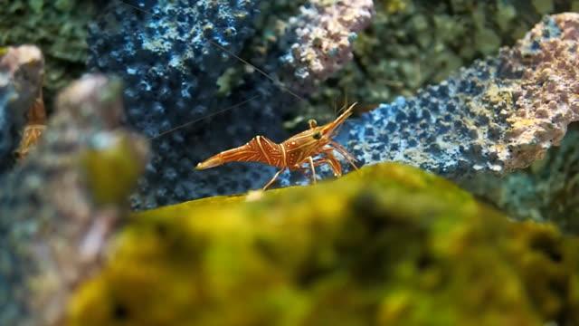 vidéos et rushes de charnière-crevette de bec - coquillage
