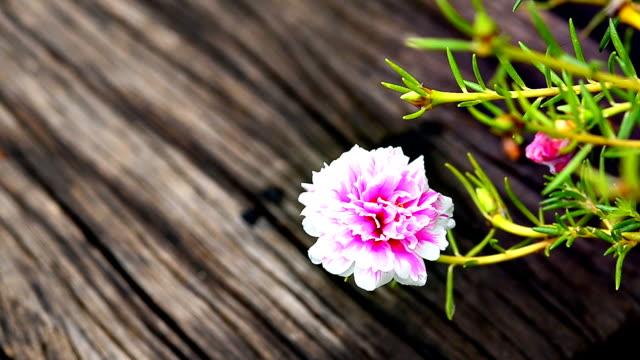 hippeastrum cybister hybrid blossom - amaryllis bildbanksvideor och videomaterial från bakom kulisserna