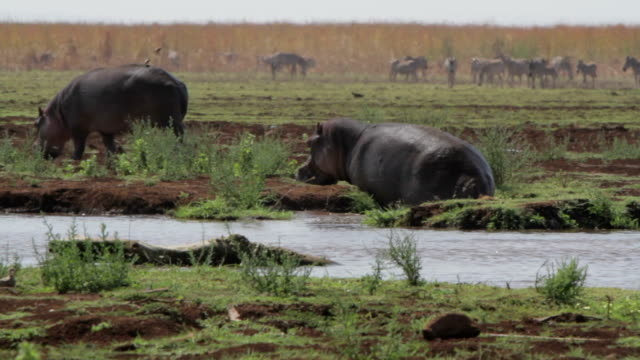 hippo climbs out of the water video