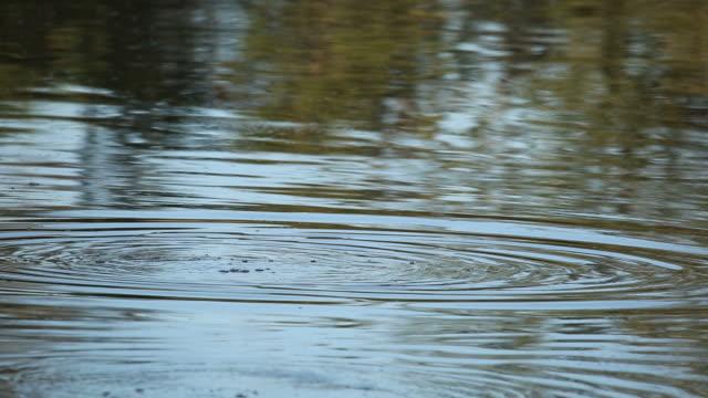 Hippopotamus in water video