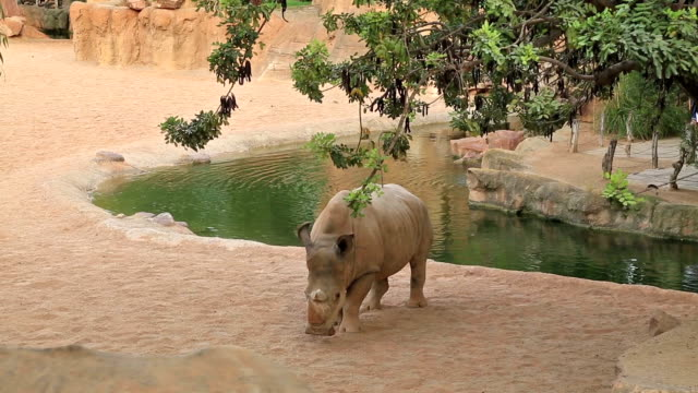 Hippopotamus near the water video