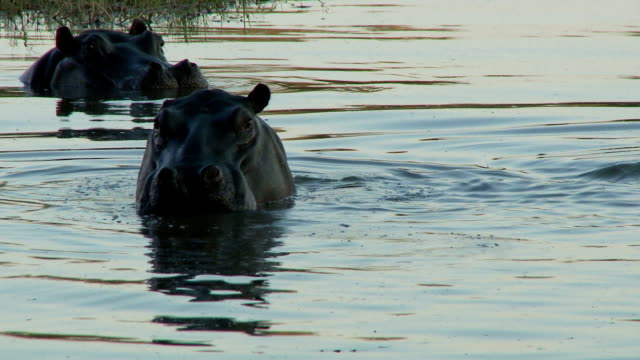Hippopotamus video