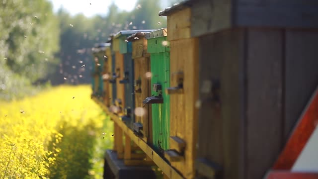 hives on the rapeseed field video