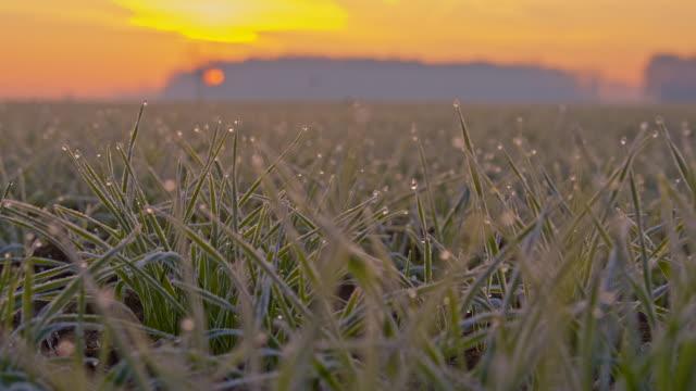 CU DS Hoarfrost On Wheat Plants video