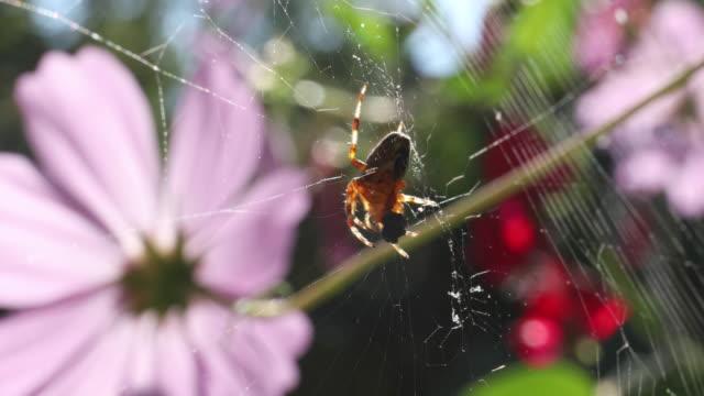 Hobo spider (Eratigena agrestis) wraps bug in web Vancouver Island, B.C. vancouver canada stock videos & royalty-free footage