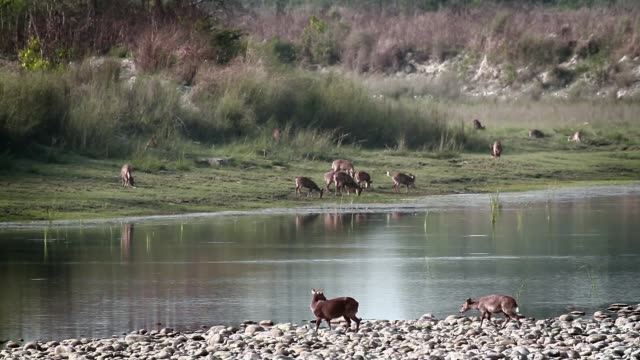 hog deer and stork-billed kingfisher in bardia national park, nepal - park narodowy kanha filmów i materiałów b-roll