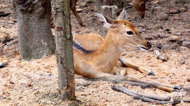 Hog deer concept. Deer herd in forest on mountain video