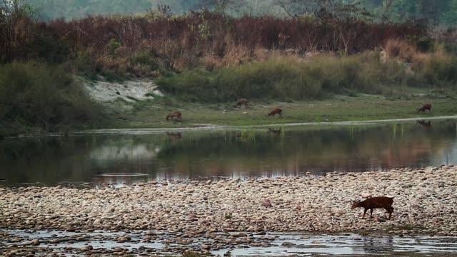 hog deer in bardia national park, nepal - park narodowy kanha filmów i materiałów b-roll