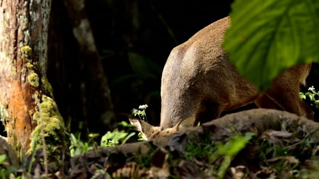 Hog deer in the forest video