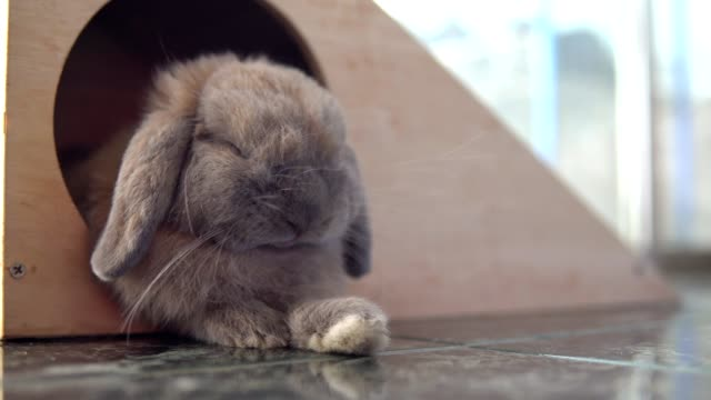 Holland Lop rabbit sleeping in the House. Pets. 4K Resolution