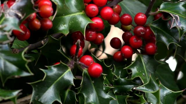 vídeos de stock e filmes b-roll de holly bush with red berries uk 4k - baga