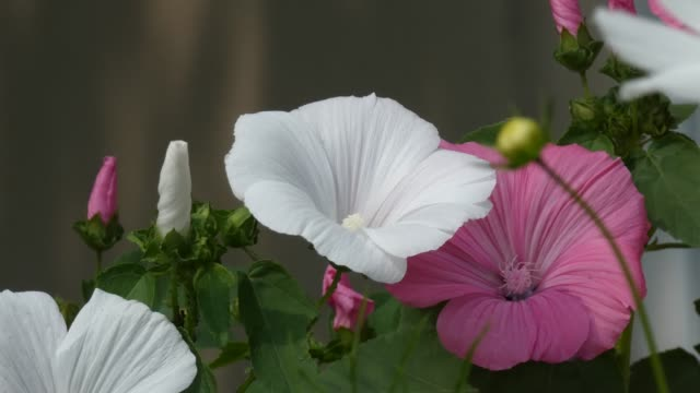 gülhatmi (alcea rosea) çiçek bahçesinde rüzgarda sway - üreme organı stok videoları ve detay görüntü çekimi