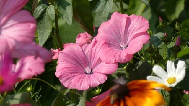gülhatmi (alcea rosea) çiçekler sway içinde wind.mov - üreme organı stok videoları ve detay görüntü çekimi