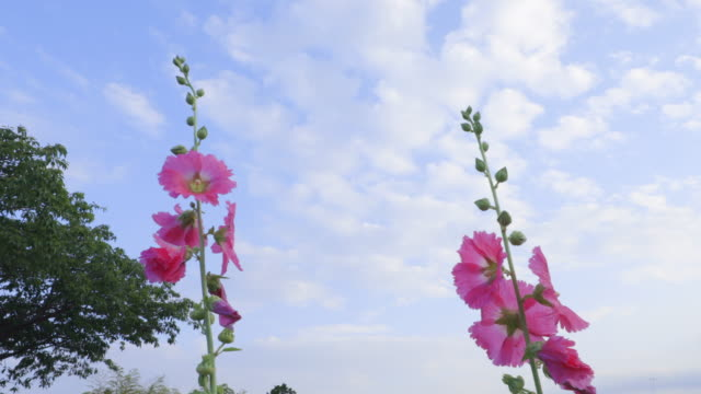 Hollyhocks and blue sky swaying in the wind
