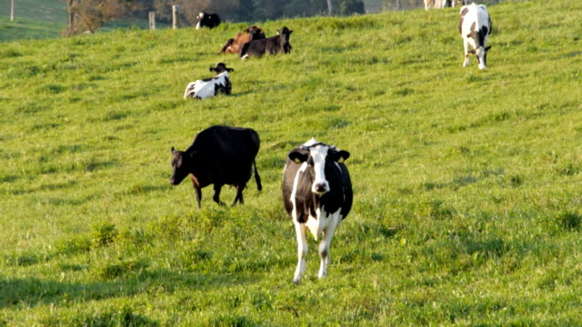holstein dairy cow video