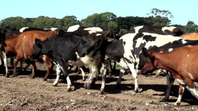 Holstein Friesian cows video