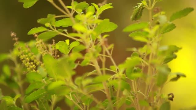 heliga växten av einar krishna i templet i indien - basilika ört bildbanksvideor och videomaterial från bakom kulisserna