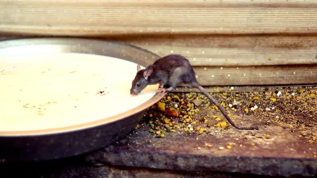 Holy rat drinking milk from a bowl at Karni Mata Temple, India. video