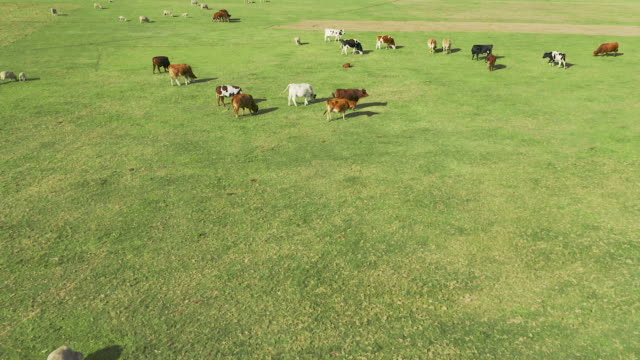 Home of the herd 4k drone footage of a herd of cows on a field paddock stock videos & royalty-free footage