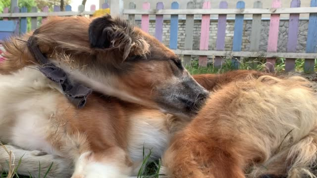 Homeless Russian sighthound with a bandage on his neck nibbles and licks a paw in order to get rid of fleas video