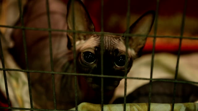 Homeless Sad Sphynx Cat With Big Eyes Lying In Iron Cage Pet Shelter Adoption Stock Video Download Video Clip Now Istock