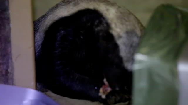 Honey badger South Africa video