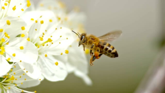 slo mo ts honey bee approaching a white blossom and attempting to land on the petal - fiori video stock e b–roll