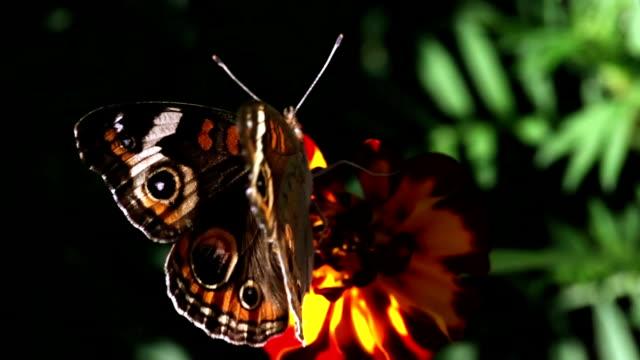 Honey bee closeup. video