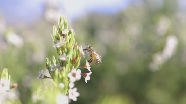 A honey bee collect pollen and nectar from a Manuka plant for making wild flower honey. Slow motion. Agriculture and organic concepts.