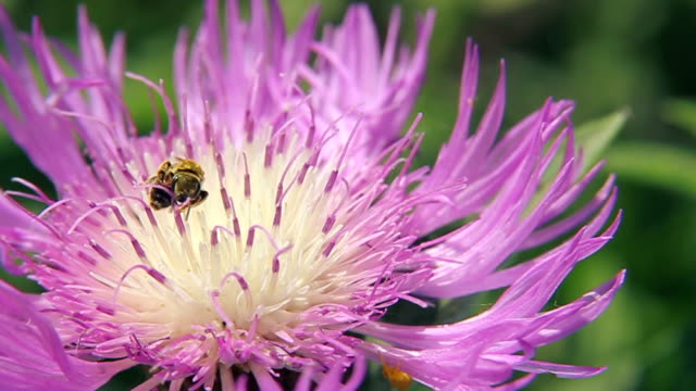 Honey bee collecting nectar from the pink flower video