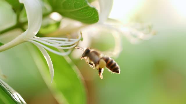Honey bee collecting nectar pollen around flower