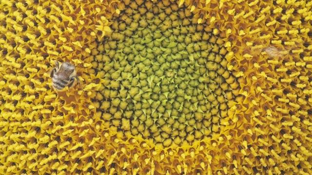honigbiene sammelt pollen und nektar auf einer sonnenblume, nahaufnahme - gliedmaßen körperteile stock-videos und b-roll-filmmaterial