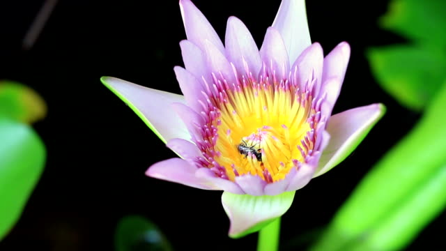 Honey bee collecting pollen from a flower, pink purple water lily ,lotus flower blooming, macro close up.