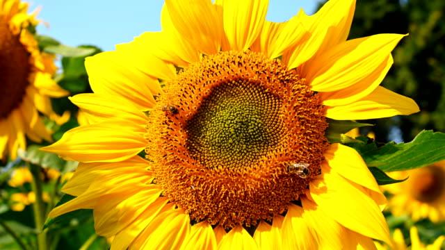 honey bee samla pollen på en blommande solros horisontell komposition - bi insekt bildbanksvideor och videomaterial från bakom kulisserna
