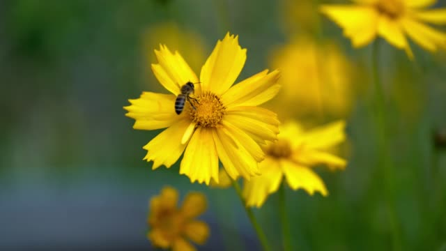 Honey bee collecting pollen on a bright yellow flower.