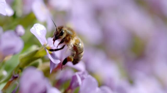 slo mo ecu honey bee collecting pollen on a flower - pszczoła filmów i materiałów b-roll