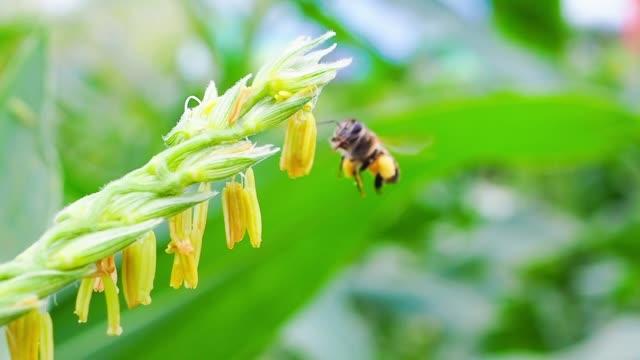 honungsbiet att samla in pollen på blåklint i jordbruk fält - pollinering bildbanksvideor och videomaterial från bakom kulisserna