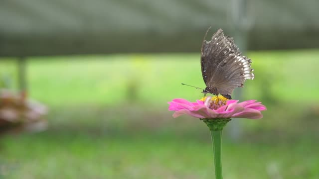 honey bee collecting pollen on pink blossom flower, slow motion shot - coreopsis lanceolata video stock e b–roll