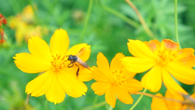 honey bee collecting pollen on yellow blossom flower, slow motion shot - coreopsis lanceolata video stock e b–roll