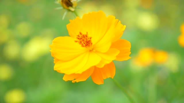 honey bee collecting pollen on yellow blossom flower - coreopsis lanceolata video stock e b–roll