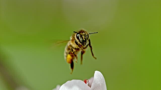 SLO MO ECU Honey bee collecting pollen
