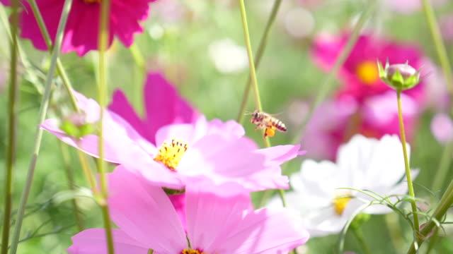 ミツバチの飛び、ピンクの花の花粉を集める、スローモーションショット ビデオ