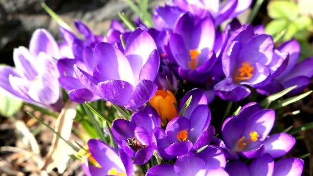 vidéos et rushes de abeille à miel volent autour sur une fleur de crocus - crocus
