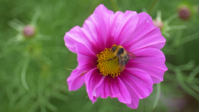 Honey Bee Gathering Pollen From Pink Yellow Flowers video