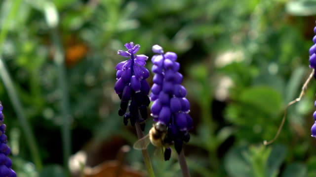 honey bee harvesting grape hyacinth - ape operaia video stock e b–roll