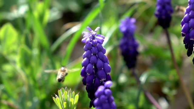 Honey Bee Harvesting Grape Hyacinth video