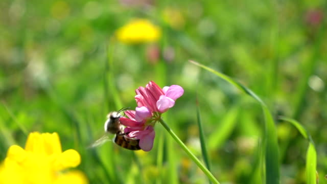 Honey Bee Harvesting Wild Flower video