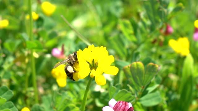 honey bee harvesting wild flower - ape operaia video stock e b–roll